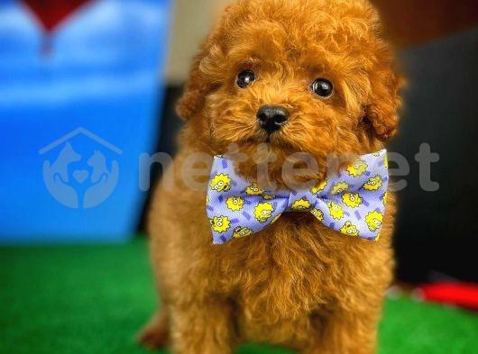 Mini boy Toy Poodle yavrumuz