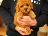 Teacup red toy poodle yavrumuz