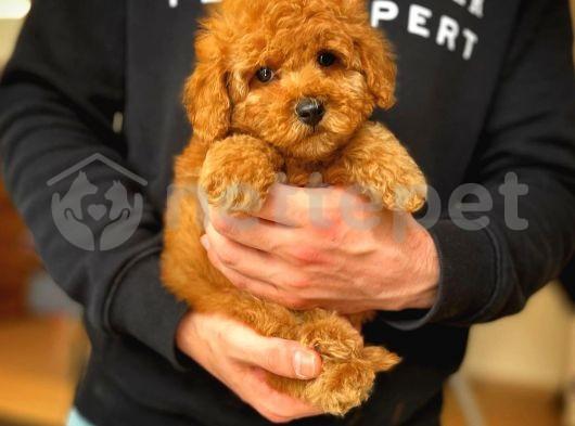 Teacup red toy poodle yavrumuz