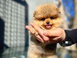 Ayıcık Surat Pomeranian Boo yavrumuz