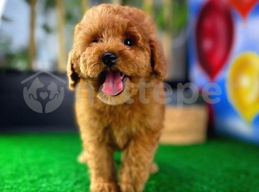 Yavru Patiler'den çok güzel Toy Poodle Yavrusu