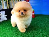 Gülen Surat Sevimli Pomeranian Boo Oğlumuz MARİO