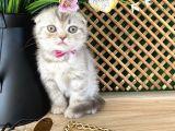 Süper Kalite Lilac Tabby Scottish Fold Yavrumuz Bizar