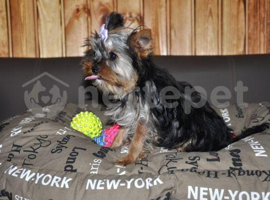 FCİ Pupy Card'lı Yorkshire Terrier Yavrumuz