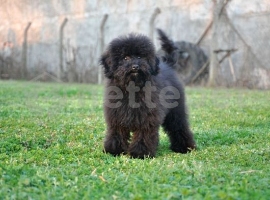 Siyah Toy Poodle
