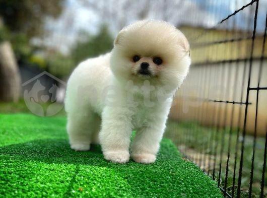 Güzel Pomeranian Boo yavrumuz