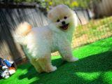 Safkan Tatlı Pomeranian Boo yavrumuz