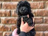 Siyah (black) dişi toy poodle @catboyssss da