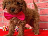 RED BROWN TOY POODLE YAVRULARIMİZ