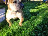 İngiliz Bulldog 18 aylık erkek
