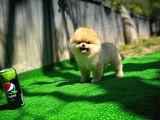 Secereli güzeller güzeli Pomeranian Boo yavrumuz