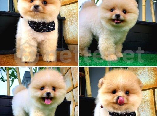 En Tatlısından Safkan Pomeranian Boo yavrumuz