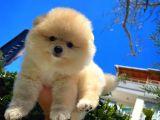 Orjinal Güzellikte Güleryüzlü Pomeranian Boo yavrumuz