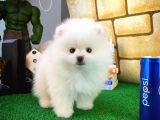Safkan En Güzelinden Pomeranian Boo yavrumuz