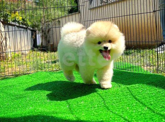 Pomeranian Gülen tip