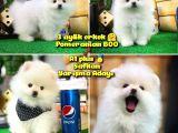 Yarışma Düzeyi Beyaz Orjinal Pomeranian @yavrupatiler