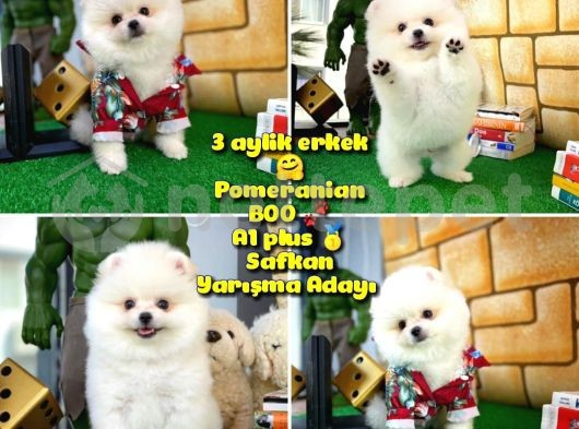 A 1 plus Beyaz özel seri Safkan Pomeranian @yavrupatiler