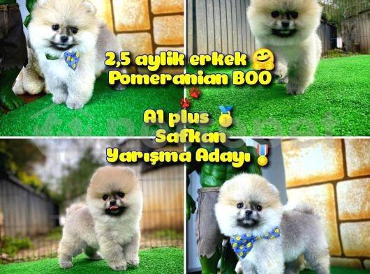 A plus Özel seri Basık burun Ayı surat BOO Safkan Pomeranian oğlumuz Donny