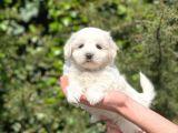 Sevimli Maltese Terrier Yavrularımız