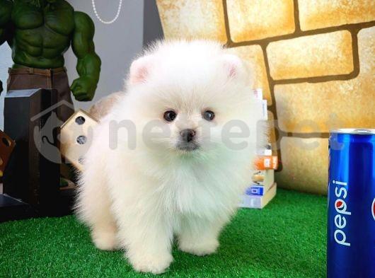 En Tatlısından Pomeranian Boo yavrumuz