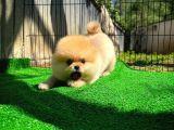Orijinal Renk Yapısına Sahip Dişi PomeranianBoo Yavrumuz