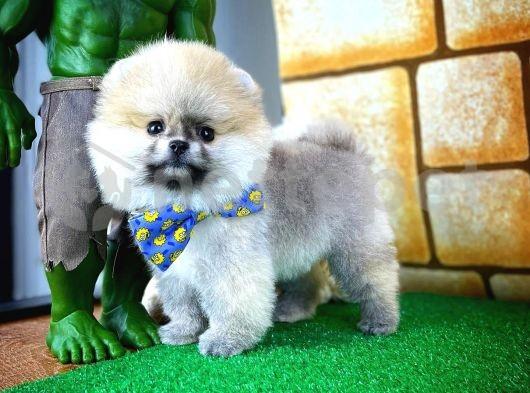 MiniBoy Oyuncu Sevimli PomeranianBoo Oğlumuz/ İnstagram: pomeranianboodunyasi_