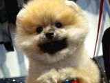 En iyi Fiyat ve Kalite Standartına Sahip PomeranianBoo Oğlumuz
