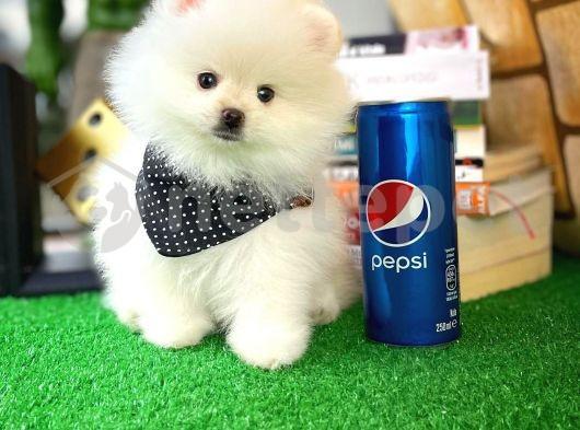 Kar Beyazı PomeranianBoo Yavrularımızdan