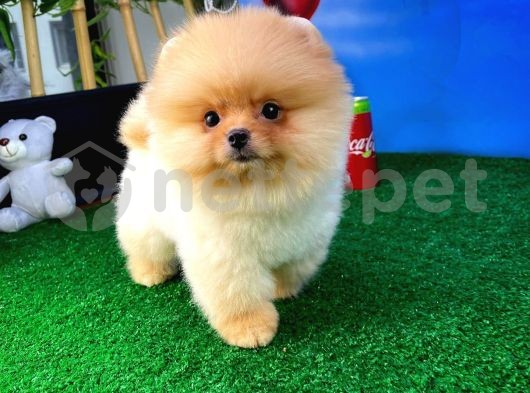 Dünya Şekeri Pomeranian Boo yavrumuz