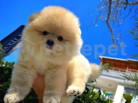 Özlenen Güzellikte Pomeranian Boo yavrumuz