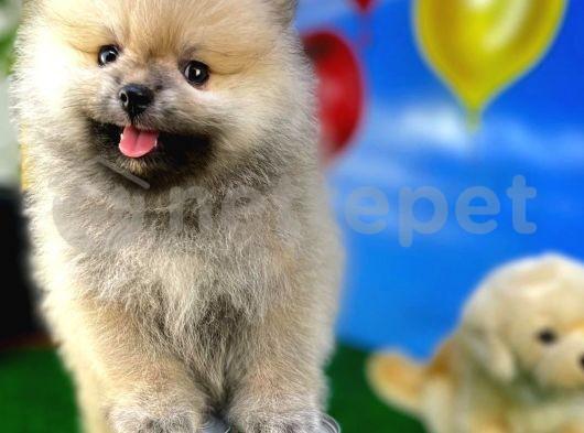 Ailenizin Neşesi Oyuncu Pomeranian Boo yavrumuz