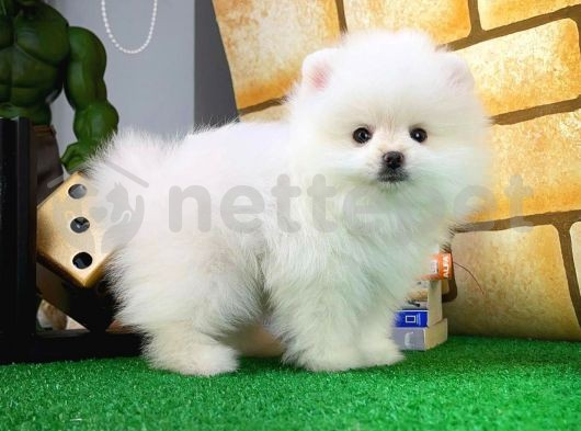Secereli Pomeranian Boo yavrumuz