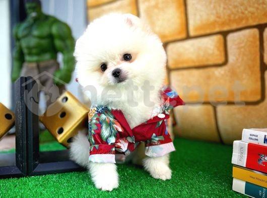 Sevdiğimiz Pomeranian Boo yavrumuz
