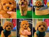 Red Toy Poodle Orjinal