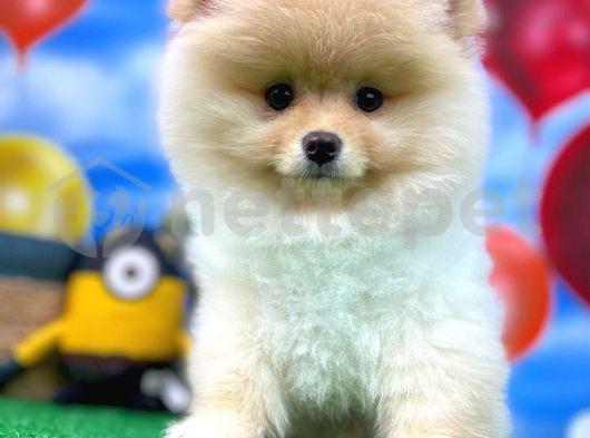 Şampiyon Pomeranian Boo