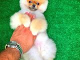 Üst Segment Pomeranian Boo cinsi