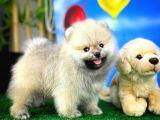 Yarışma düzeyi Pomeranian Boo yavrumuz