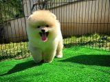 Secereli sevimli oyuncu Pomeranian Boo yavrumuz