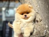Yakışıklı ve Oyuncu Pomeranian Boo Oğlumuz FELİX