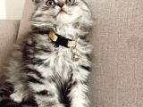 Scottish Fold Silver yavru
