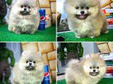 Tcup Pomeranian Boo yavrumuz