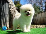 Güzeller güzeli beyaz Pomeranian Boo yavrumuz
