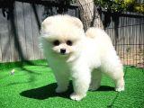Dünya Güzeli Pomeranian Boo yavrumuz