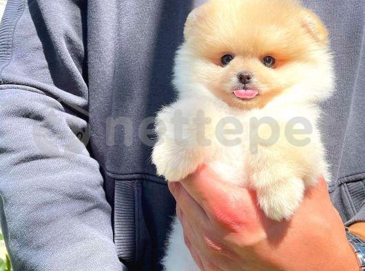 Moda İkonu Pomeranian Boo yavrumuz