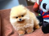 Aa Kalite Pomeranian Boo Yavrularımız