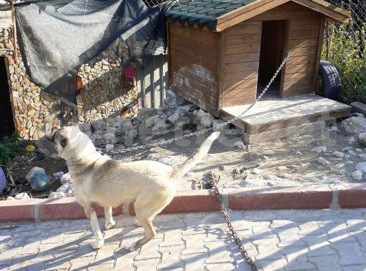 Kangal cinsi köpek satılık