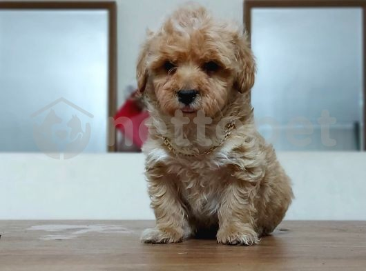 Show CLASS maltipoo red-red brown
