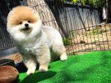 Gülen Surat Oyuncu Pomeranian Boo Oğlumuz STEWEN