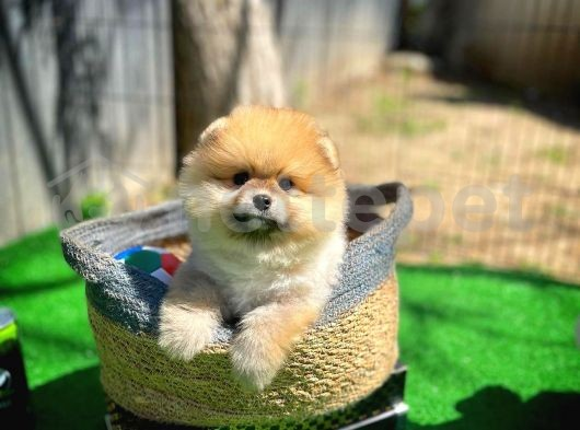 Karneli Veteriner kontrollü Pomeranian Boo