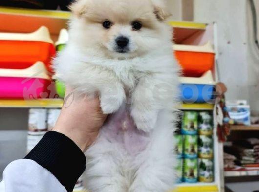 Orjinal Irk Pomeranian Boo
